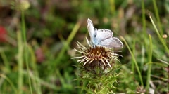 Male Chalk-hill Blue Butterfly on Carline Thistle Stock Footage