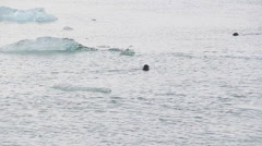 Couple of arctic seals swim in iced sea Stock Footage