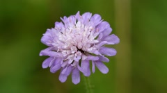 Close up of Field Scabious Flower Stock Footage