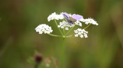 Common Blue Butterfly on White Plant. In Summer. Stock Footage
