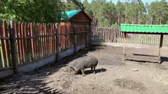Wild boar at the zoo cage in summertime Stock Footage