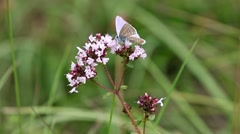Male Chalk-hill Blue Butterfly Stock Footage