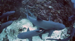 Whitetip Reef Sharks Mating - stock footage