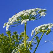 Giant Hogweed (heracleum sphondylium) - stock photo