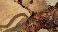 Stock Video Footage of Snake slithering off of rock and into leaves
