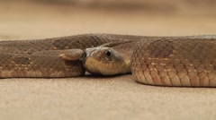 Snake laying very still on a rock, flickers tongue Stock Footage