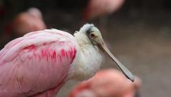 Roseate Spoonbill Stock Footage