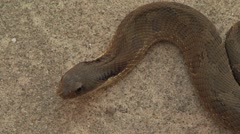 Snake laying very still, breathing. View from above. Stock Footage