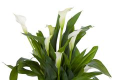 Calla lily isolated on white Stock Photos