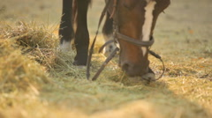 Horse eating hay on the farm. Thoroughbred stallion in the corral eating hay. Stock Footage