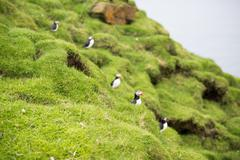 Atlantic puffins, Fratercula arctica in its colony Stock Photos