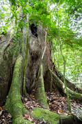 a giant tree with buttress roots in the rain forest - stock photo