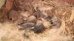 Baby Bunnies / Rabbits in nest Stock Footage