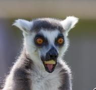 black and white lemur - stock photo