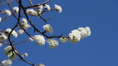 Plum Tree blossom and blue sky Stock Footage