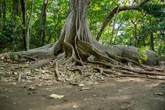 A giant tree with buttress roots in the rain forest Stock Photos