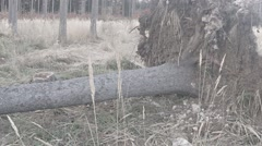 Uprooted large tree on the groung with a rootstock Stock Footage