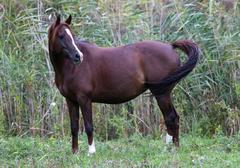 Thoroughbred arabian mare standing on summer pasture Stock Photos
