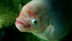 A large albino fish with big lips and bulging eyes stares at the camera. Stock Footage