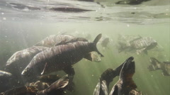 3D Carp Underwater at Navajo Lake Slow - stock footage