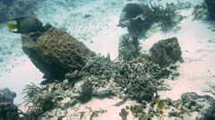 Angel Fish Over Undersea Plant-Cozumel-Mexico Stock Footage
