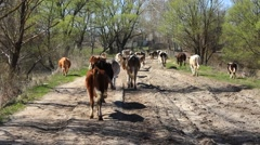 Stock Video Footage of cows comes back from pasture