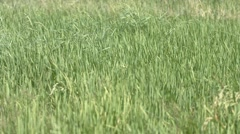Blades and Stalks of Rice Plants on a Farm Stock Footage