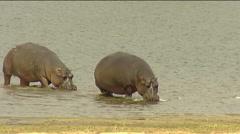 Two Hippos walking on riverbank Kruger Stock Footage
