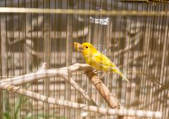 Yellow in the cage - stock photo