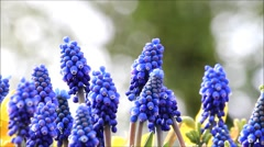 Grape hyacinths in a flower basket Stock Footage