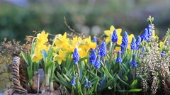 Grape hyacinths in a flower basket Stock Footage