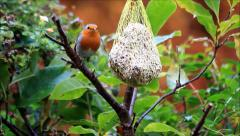 Robin bird, Erithacus rubecula,  fat bird feeder with peanuts Stock Footage