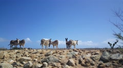 Stock Video Footage of Group of donkeys on Aruba
