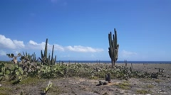 Stock Video Footage of Cactusses on Aruba