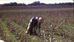African American Black Man Picking Cotton 1930s Vintage Film Home Movie 8528 Stock Footage
