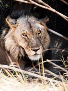 Portrait of male lion lying in the grass - stock photo