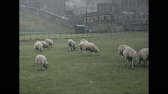 Vintage 16mm film, 1965, Scotland, sheep grazing rural Stock Footage