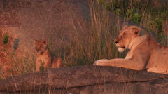 Lioness with cubs Stock Footage
