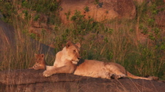 Lioness ( Panthera leo) with cubs - stock footage