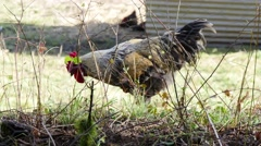Rooster living outdoors. Stock Footage