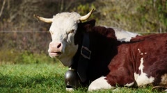 Cow lying and ruminating, bell sounds Stock Footage