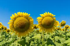 Field of sunflowers and blue sky background Stock Photos