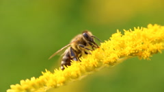 Hard-working bee collects nectar from yellow flowers Stock Footage