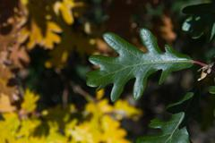 Detail of green leaf lobed White Oak on blurred background of yellow leaves - stock photo