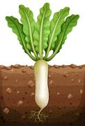 Radish plant under the ground Stock Illustration