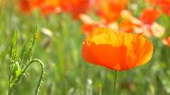 Poppy Flower Field 4k field full spring flowers single nature background poppies Stock Footage