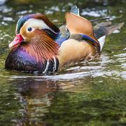 Beautiful male Mandarin Duck (Aix galericulata) - stock photo