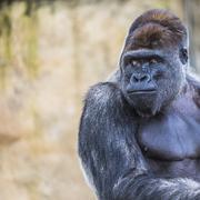 A western lowland female gorilla standing facing forward - stock photo