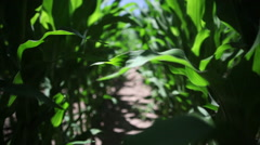 Steadicam Through The Corn Field Stock Footage