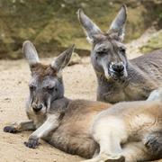 Kangaroo of Australia. Close up of head and face. - stock photo
